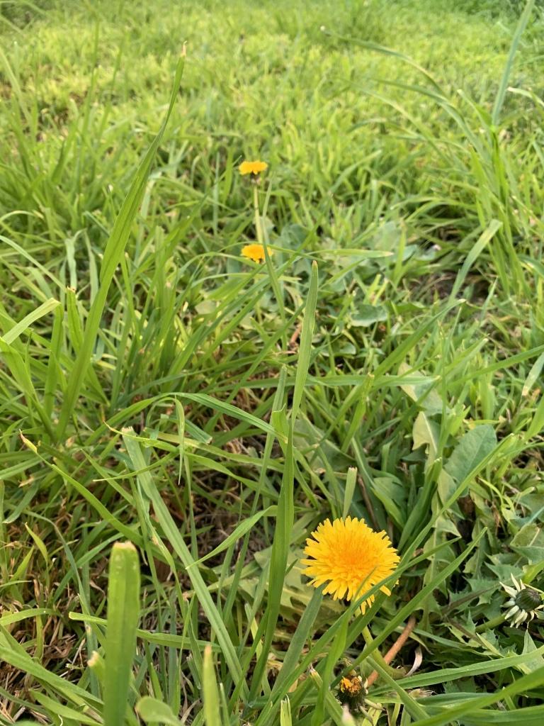 Photo of a yello dandelion on bright green grass