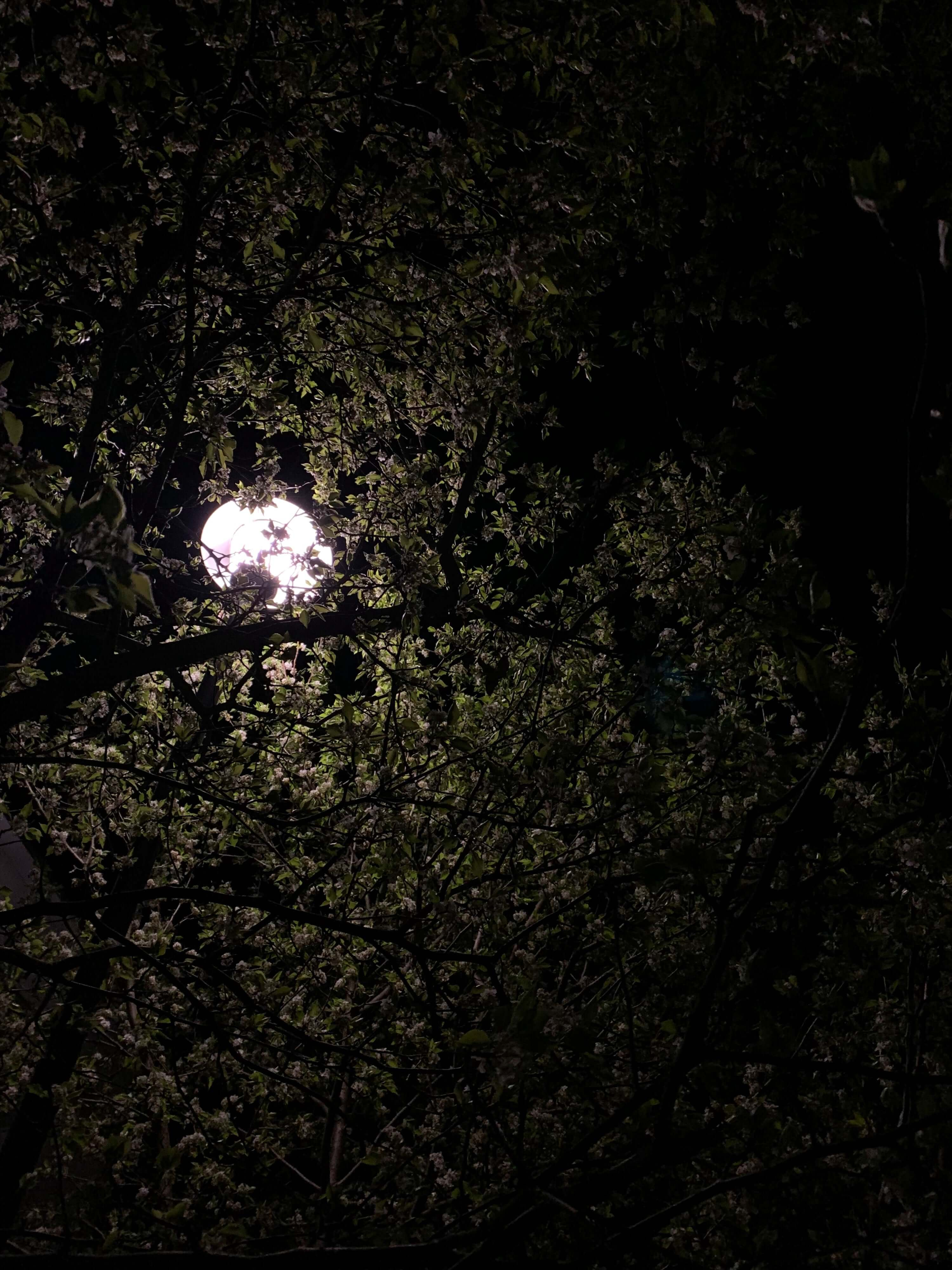 photo of a street light with flowering trees around