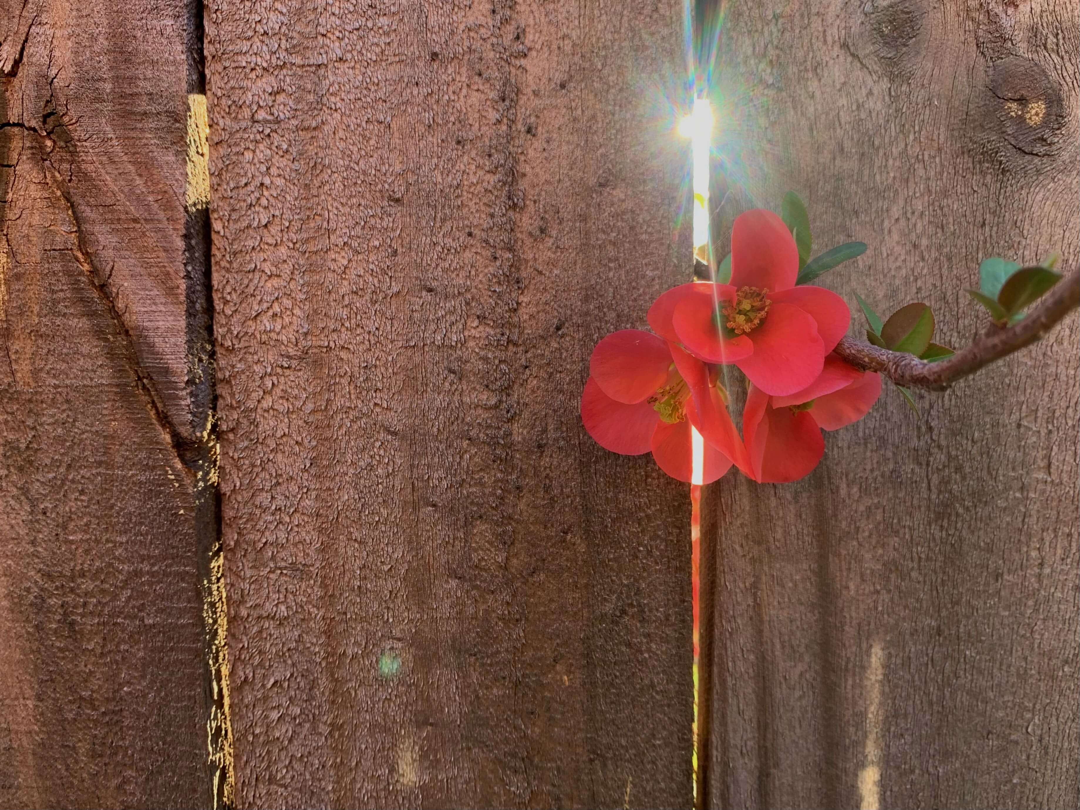 close up photo of tiny flowers and sunshine streaming through a hole in a wooden fence