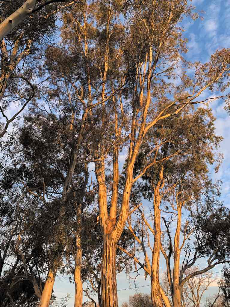 image of a group of gumtrees with the sunlight on them