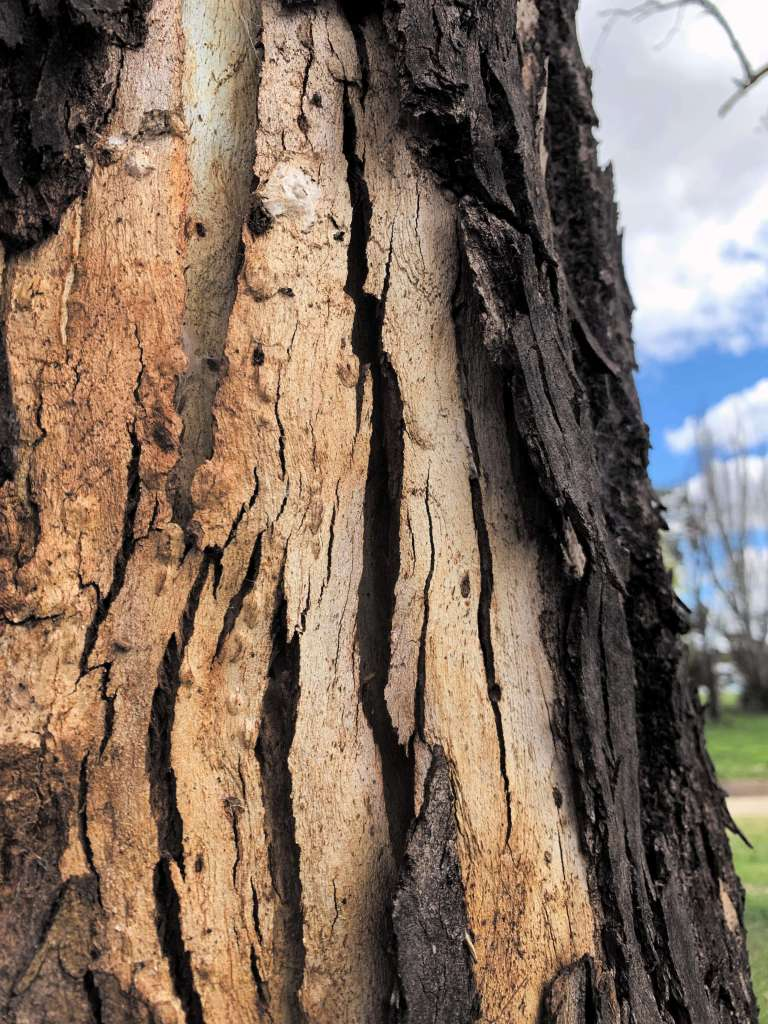 closeup photo of a tree bark focussing on its peeled outer layers