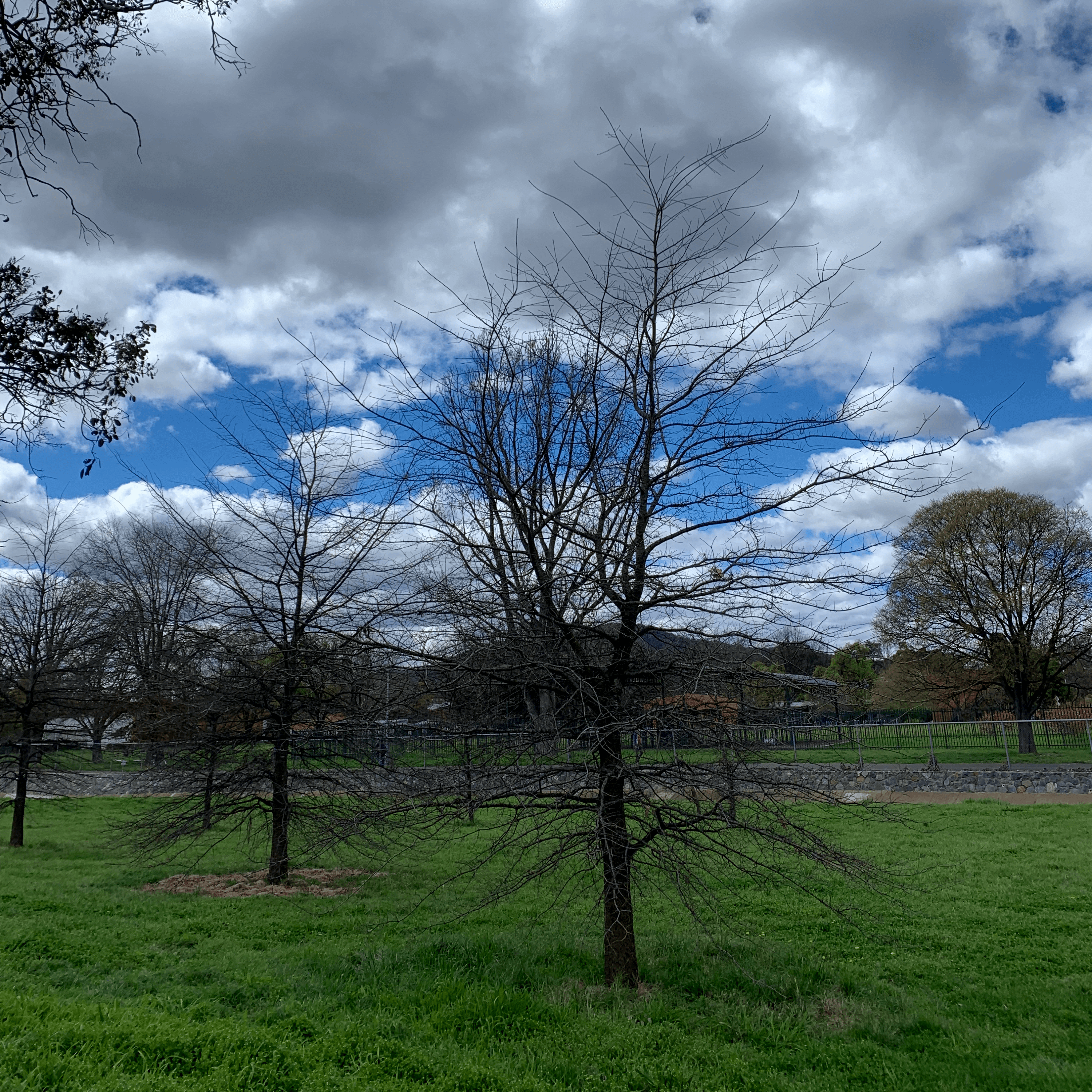 photo of a couple of small, leafless trees on a luscious green nature strip
