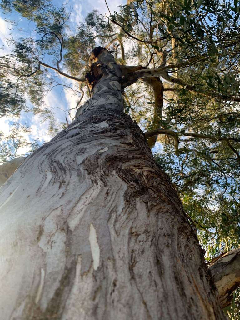 Close up photo of the bark of a yellow box gum tree.