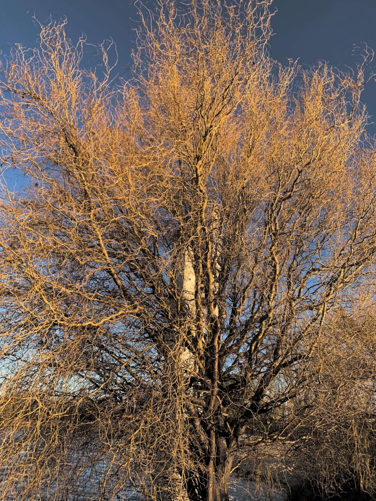 Photo of a tree with leafless branches.
