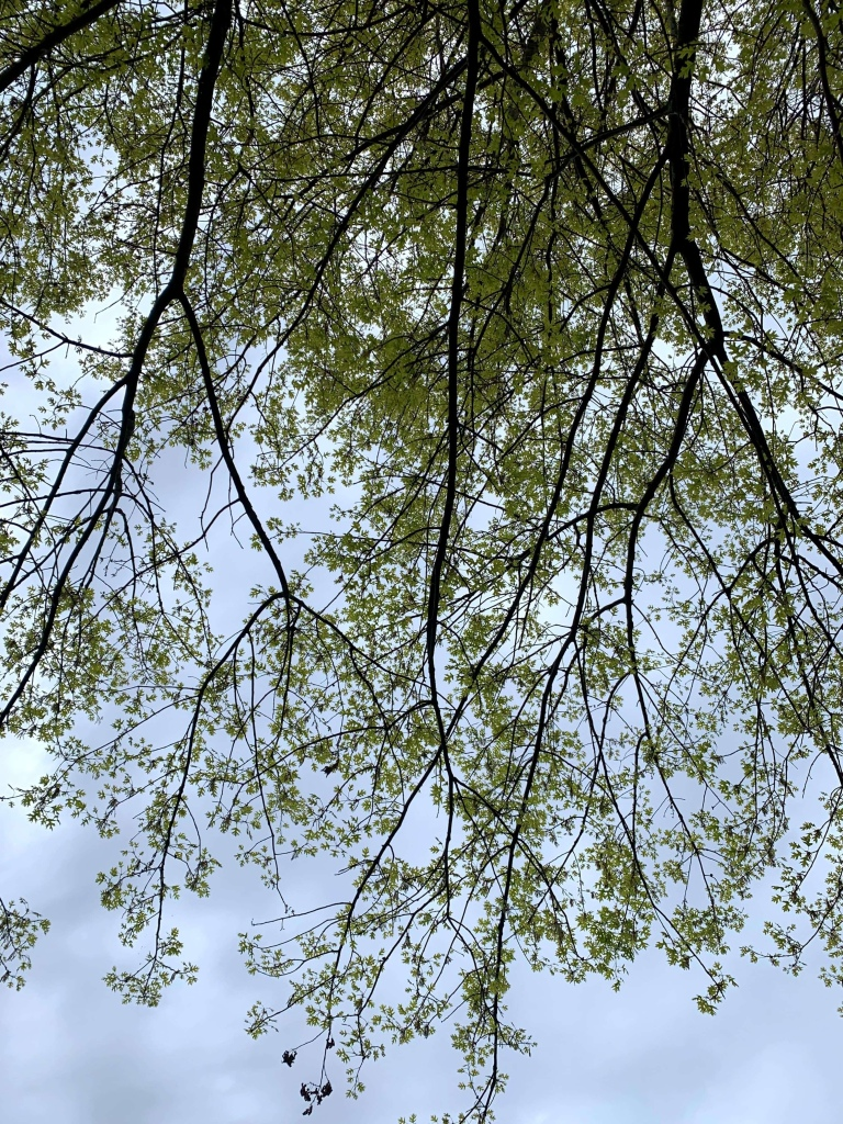 Photo of a tree's extended branches as seen from underneath it.