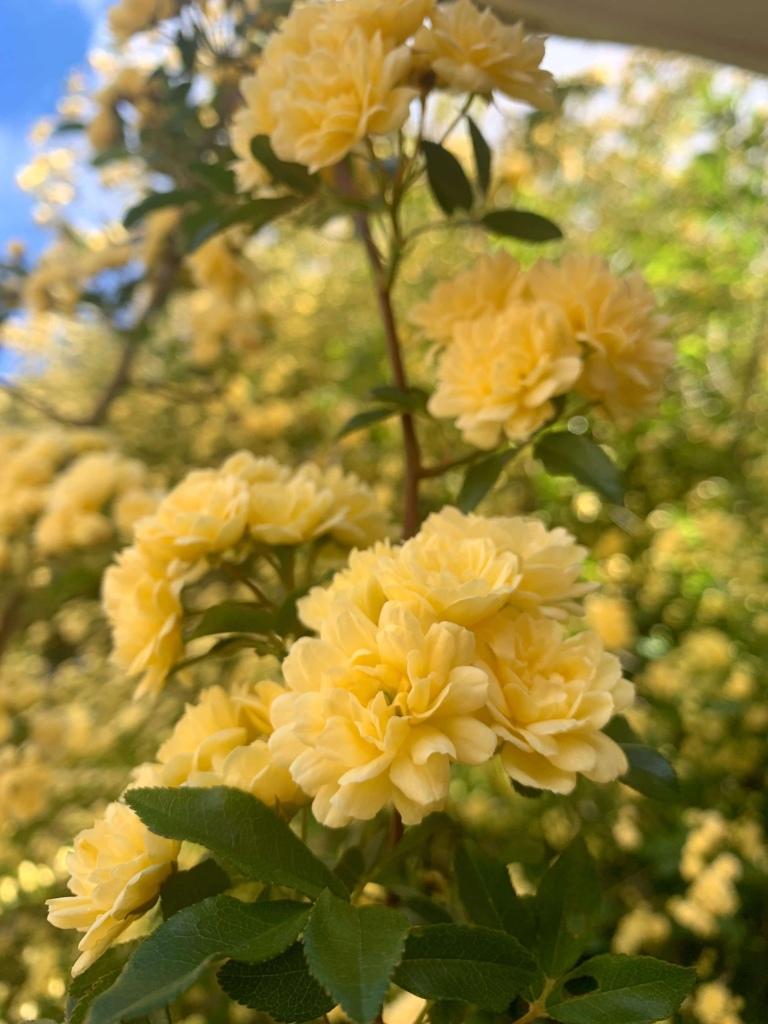 Closeup photo of yellow flowers.