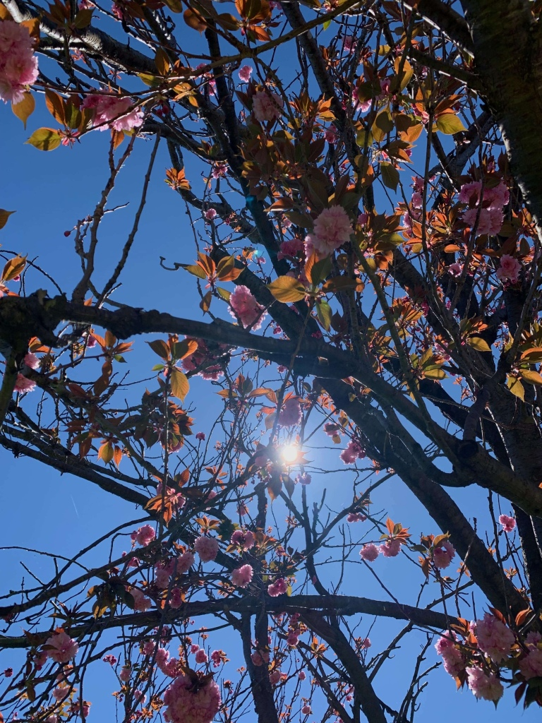 Photo of the sun filtering through flowers on a tree.