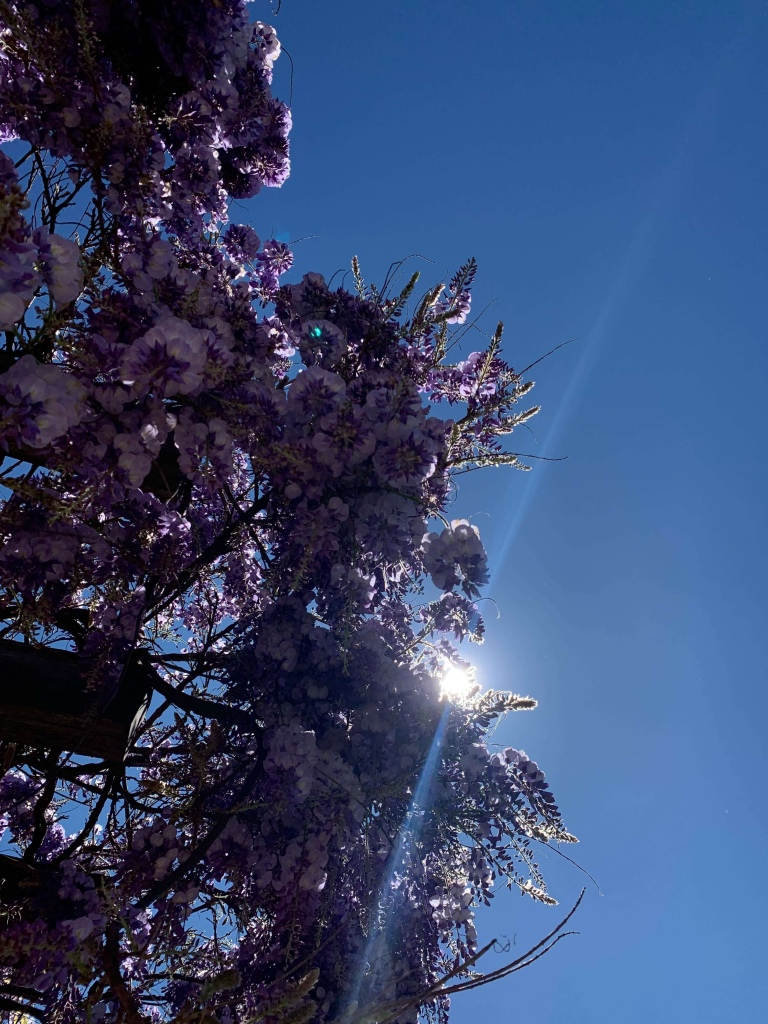 Photo of the sun gleaming through a hanging row of wisteria.